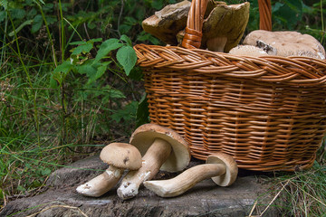 Several porcini mushrooms (Boletus edulis, cep, penny bun, porcino or king bolete) and wicker basket on wooden background..