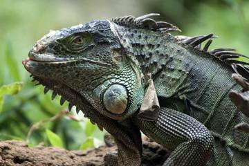 Green iguana in Brazil