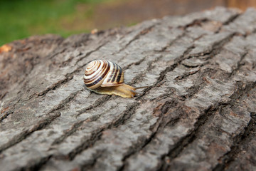 Small vivid Burgundy snail (Helix, Roman snail, edible snail, escargot) crawling on the trunk of old aspen tree. .