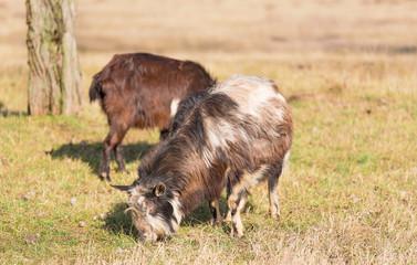 Domestic goat grazing in the farm
