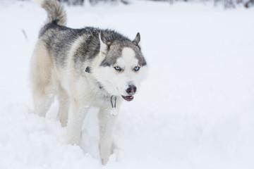 A dog of husky breed runs through the snow