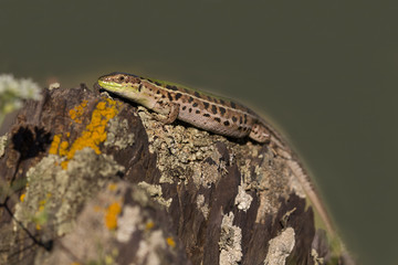 Closeup of a beautiful green lizard with brown spots standing on a rock