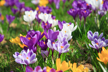 Photo sur Plexiglas Crocus Krokusse