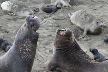 Elephant seal defends turf