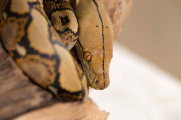 Boa portrait, Boa constrictor snake on tree branch