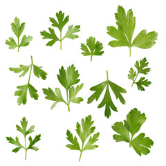 parsley fresh herb isolated on a white background