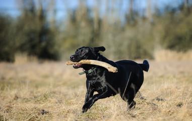 Black Labrador Retriever dog outdoor portrait running through field with stick