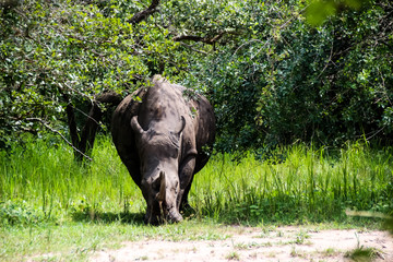 Nashorn in der Wildnis von Afrika