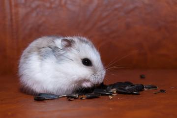 Hamster eating sunflower Seeds
