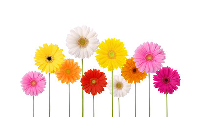 Gerber daisies in many colors isolated on white