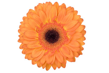 Orange Gerbera daisy isolated on white