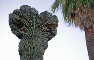 Verbänderter Saguaro (Carnegiea gigantea) und Palme