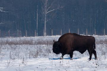 Photo sur Aluminium Buffalo European Bison (Bison bonasius) in Winter