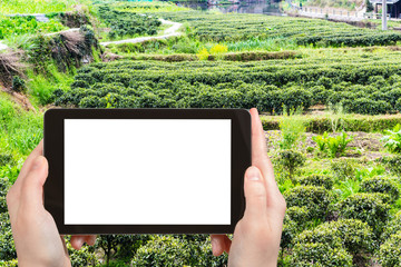 tourist photographs garden with tea bushes