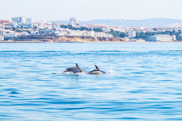 Dolphins swimming on the surface, photographed from experience boat on the coast of Albufeira, Algarve Portugal