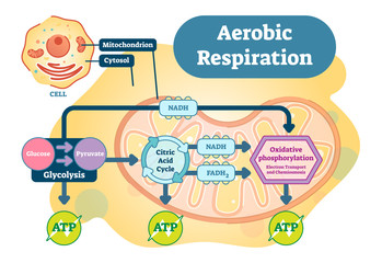 Aerobic Respiration bio anatomical vector illustration diagram