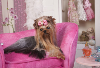 Beautiful Yorkie Lying on a Pink Lounge Chair in Dressing Room