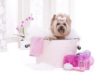 Yorkshire terrier dog in washtub with bubbles at the spa
