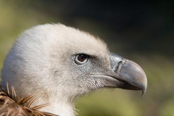 Closeup of Griffon Vulture (Gyps fulvus)