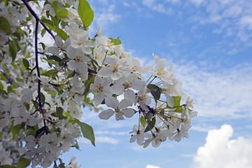 spring flowering of an Apple tree