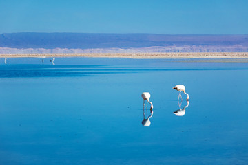 Flamingos in Chaxa lagoon salt lake, Atacama desert, Chile, South America