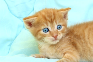Cropped Shot Of Cute Red Kitten.Cropped Shot of Cute Red Little Kitten With Blue Eyes. Cat.Kitten, Close Up.