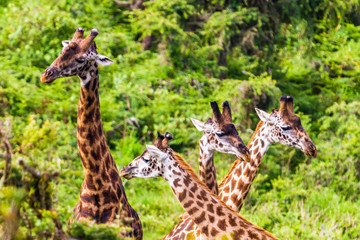 Giraffe. Ngorongoro Crater Conservation Area. Tanzania.