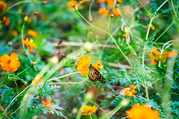 Monarch butterfly on vibrant orange garden flower in the summer.   Green plant in background of monarch with delicate pretty wings among nature.