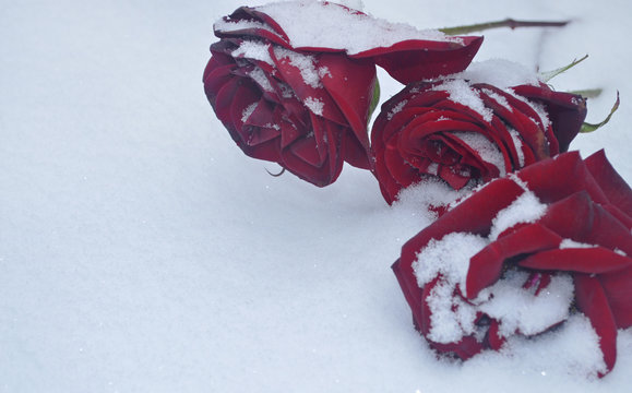 red rose on snow /