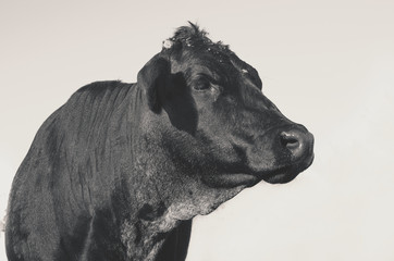 Wall Mural - Cute black angus cow on ranch, takes side portrait of head.  Agriculture beef farm lifestyle image of heifer in black and white.