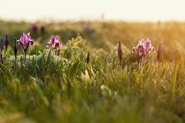Wild violet iris flower growing in nature, summer seasonal floral sunny background