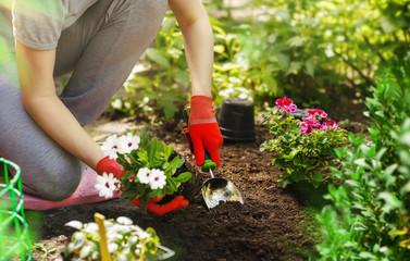 Aluminium Prints Garden Gardener woman planting flowers in the summer garden at morning