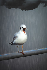 Seagull shouting in pouring rain