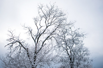 winter trees. Black trees against the sky. Black branches of trees covered with snow. Silhouette of tree, trees. Postcard, wall-paper, decor