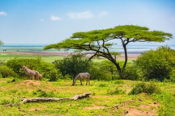 Wild zebra at Ngorongro Crater Conservation area. Tanzania.