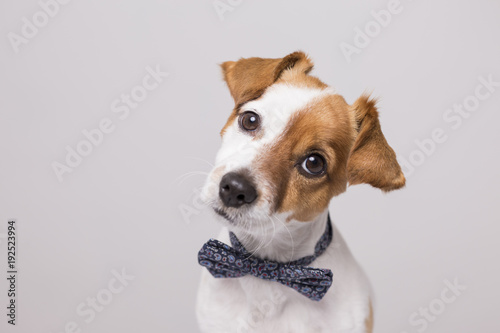 Cute Young Small White Dog Wearing A Modern Bowtie Sitting On The