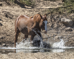Wild Horses at the Lower Salt River near Mesa, Arizona USA