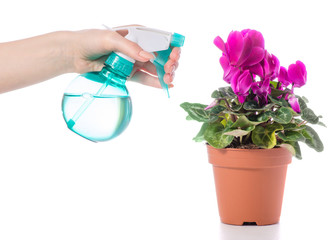 Spray with water for flowers cyclamen in hand