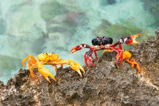 Kuba, Cienfuegos, Cienaga de Zapata, Krabbenwanderung in Giron, Playa Larga, Schweinebucht
