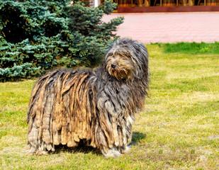 Bergamasco Shepherd looks aside. The Bergamasco Shepherd stands on the green grass in the park.