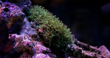 Green star polyps coral in reef tank