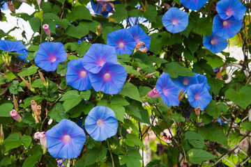Image of a Blue flower of Morning Glory (Ipomoea)  in the garden