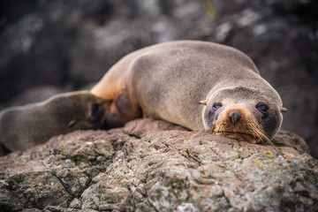 A mother seal and her pup laying on a rock in New Zealand.