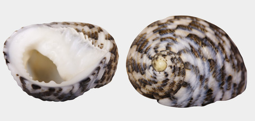 "Beautiful spiral seashell with a textured surface of burgundy-brown color. Seashell ""Angaria delphinus"" close up isolated on white background. Selective focus."