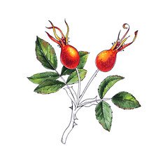 Branch of Dog rose, Red Berries, Green Leaves. Hand drawn botanical painting, isolated on white background
