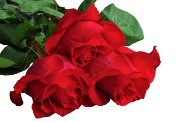 Red or scarlet roses with green leaves. Isolated, white background.