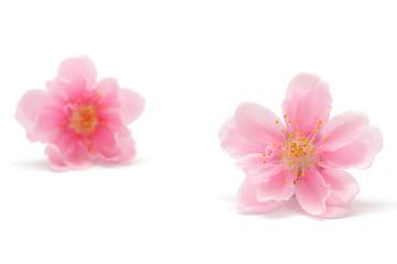 桃の花 白背景