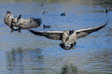 Canada Geese Landing On The Still Blue Pond Water