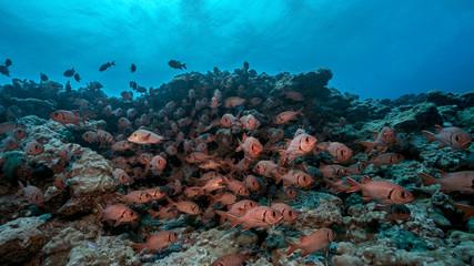 Red Snapper School in Fakarava Atoll