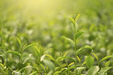 Fresh green tea leaves close up in tea plantation